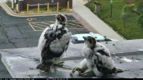 Black and white baby falcons sitting on the edge of the building